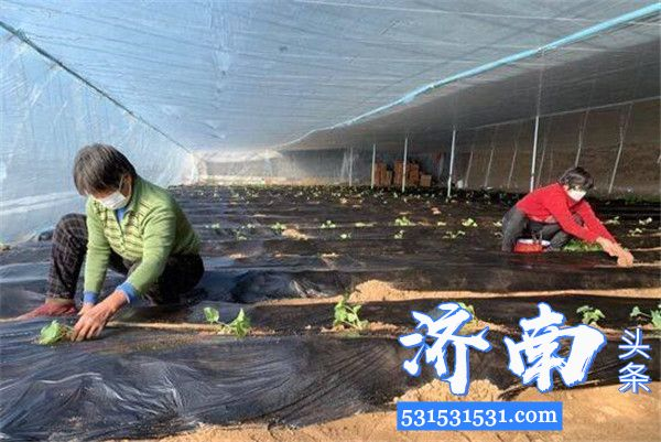 济南市蔬菜技术服务中心积极采取措施,助力早春西甜瓜等瓜菜种苗定植